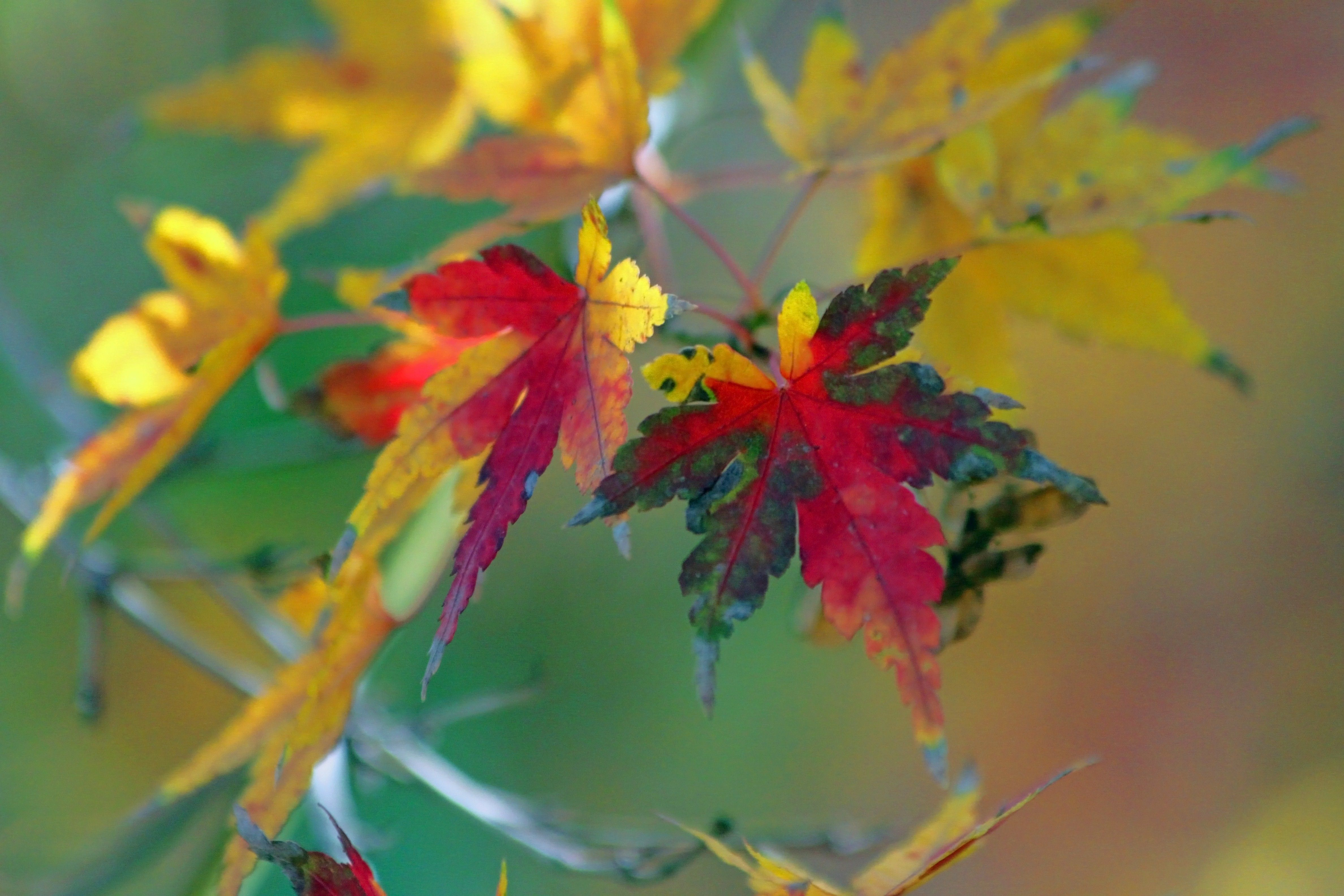 A branch of Japanese maple leaves changing colors in the fall.