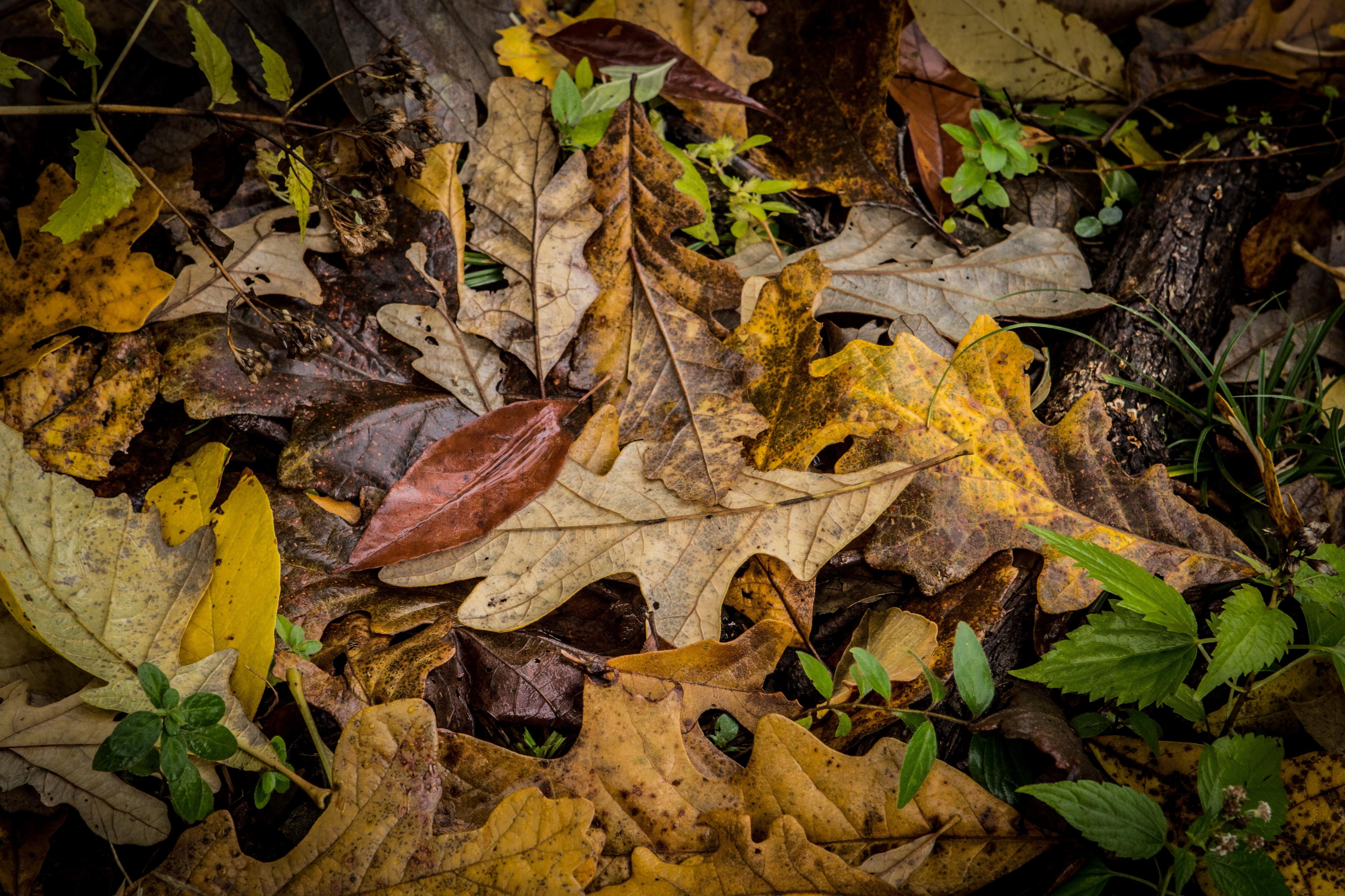 A pile of dead leaves in the fall.