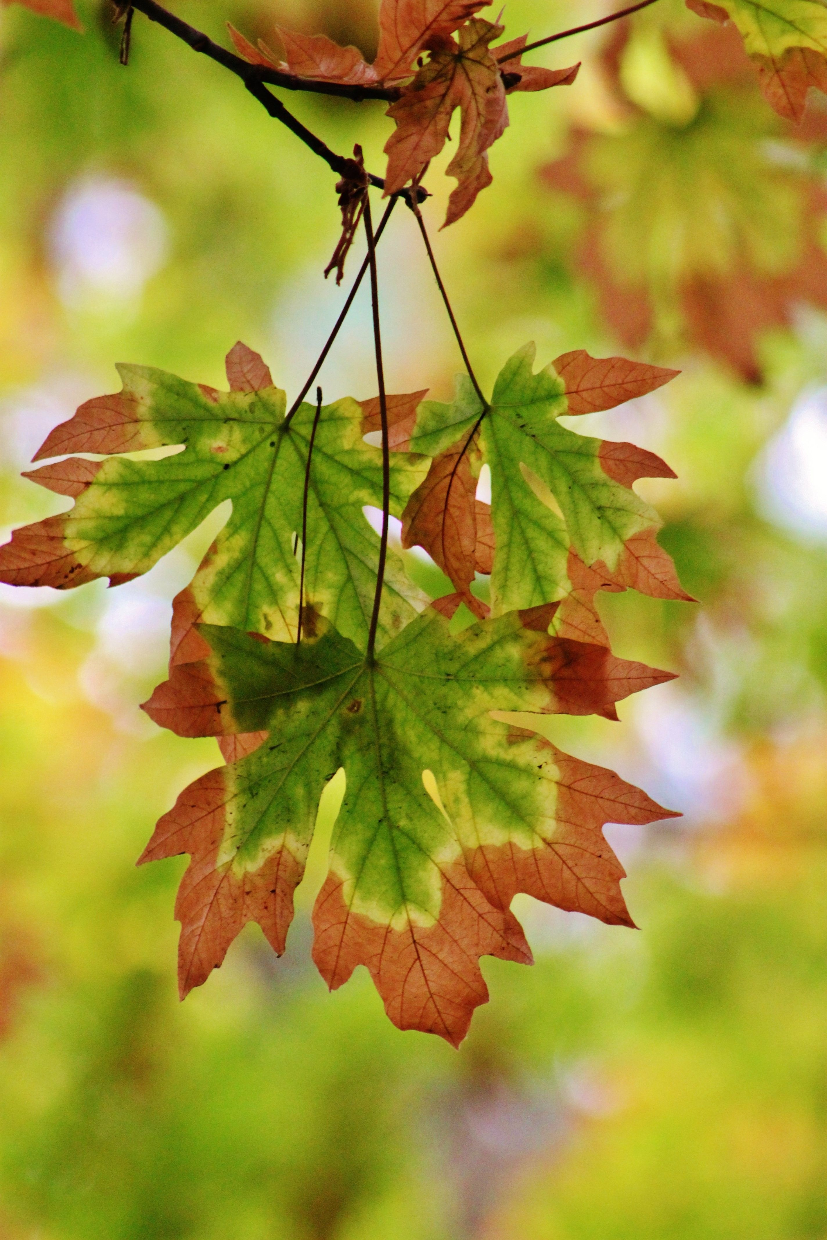 A small branch of leaves changing colors in the fall season.