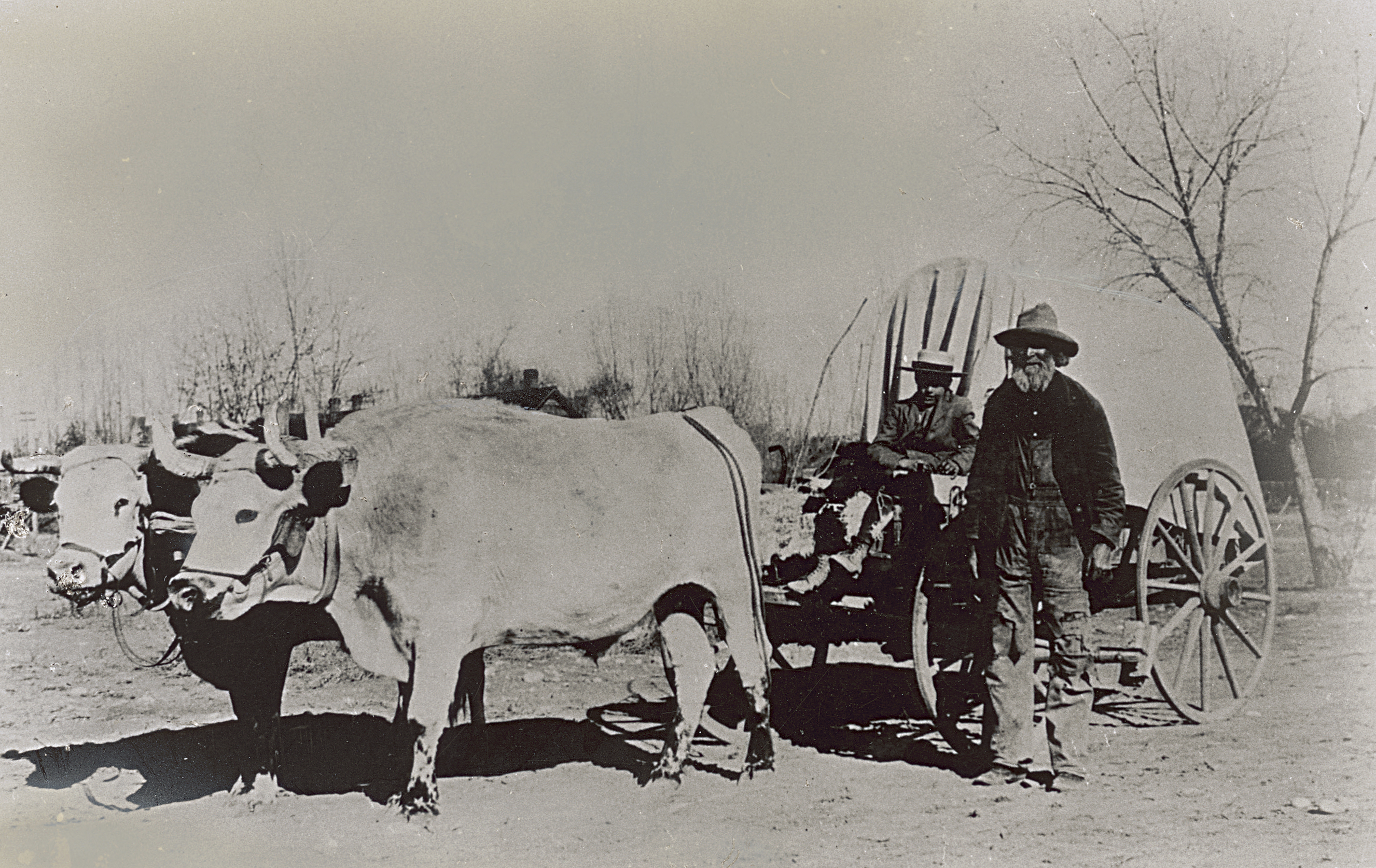 A historical photograph showing a team of oxen pulling a small covered wagon.