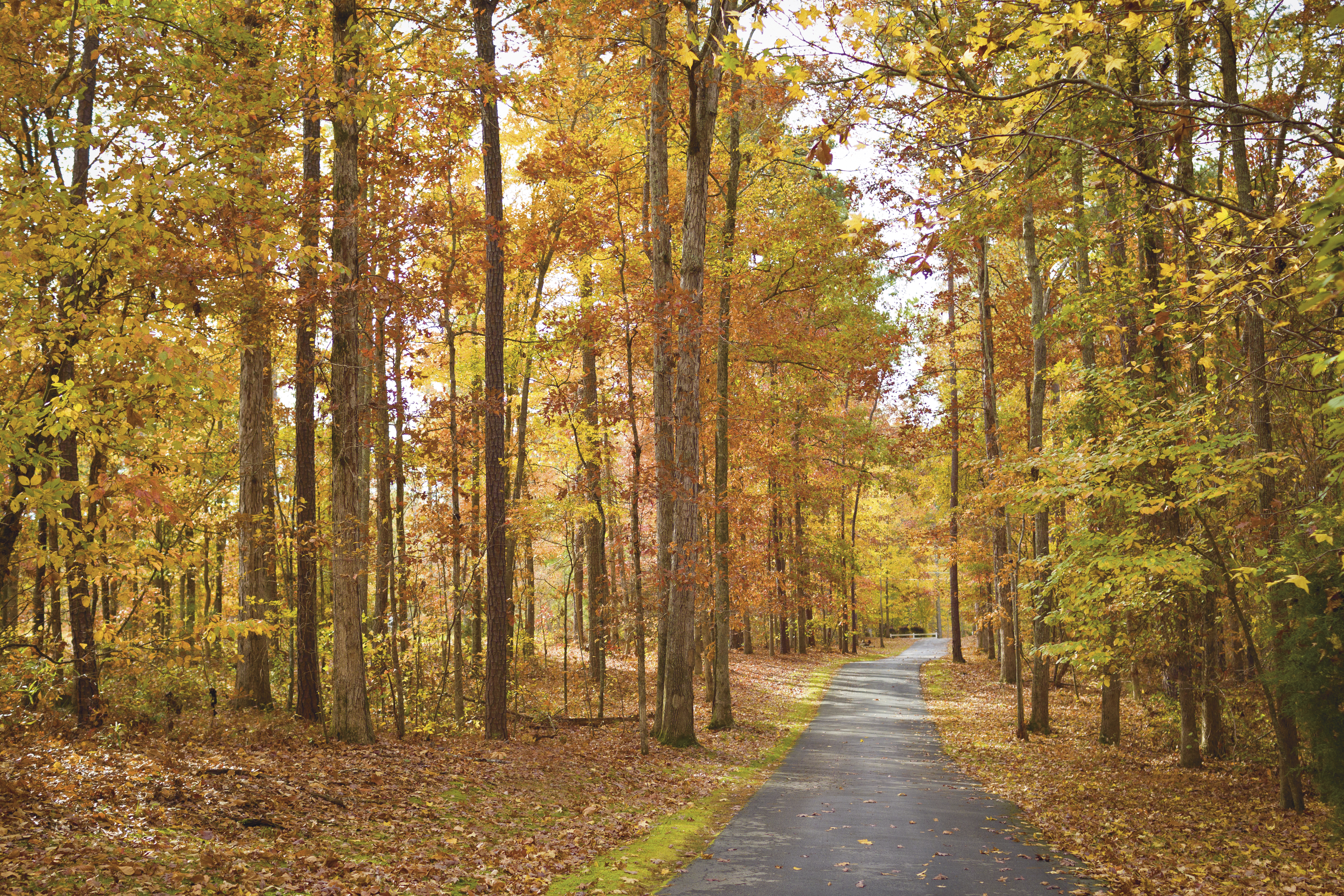 A paved trail with tall trees on both sides in autumn.
