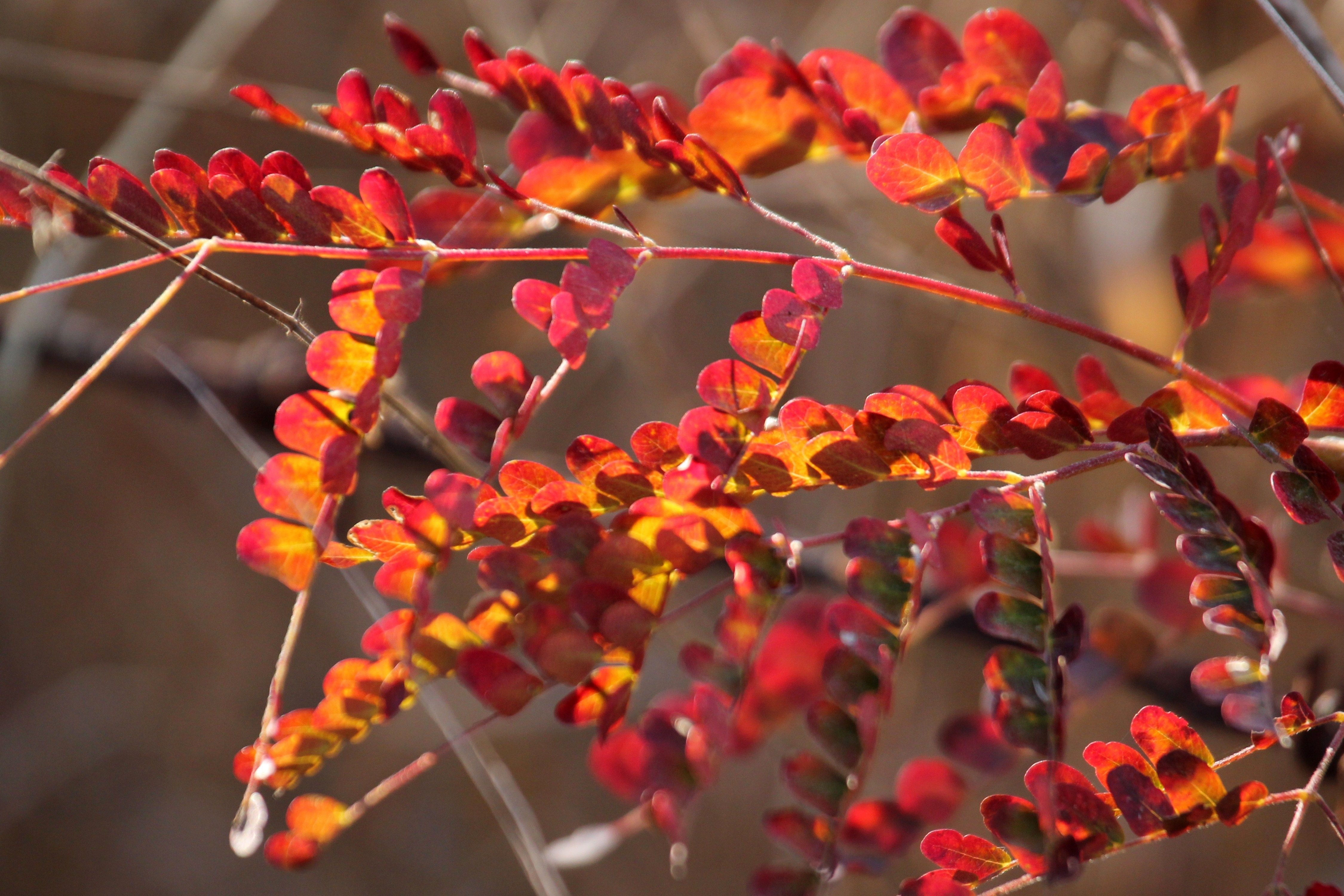 Branches of a plant turning red in the autumn season.