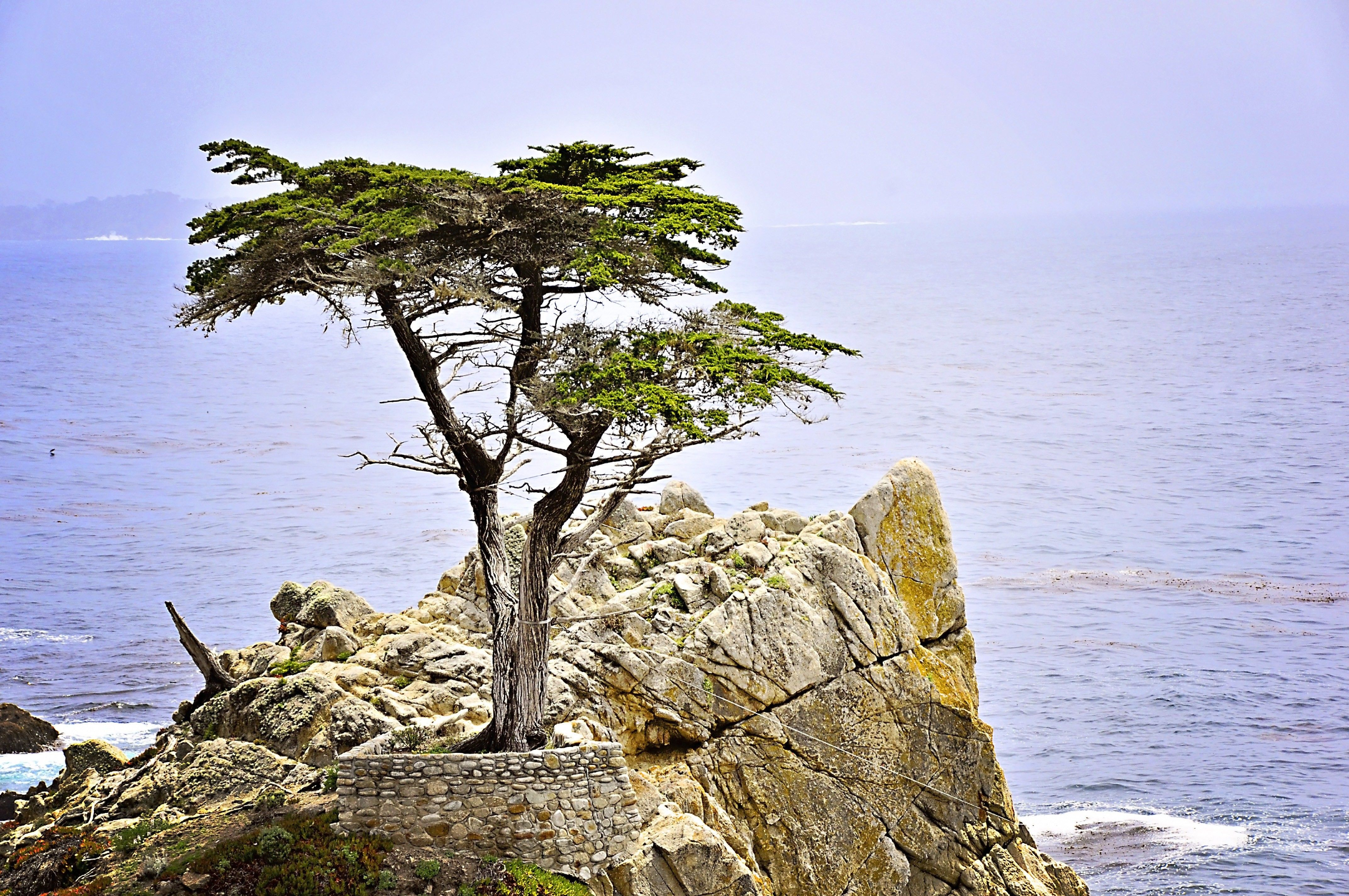 A cypress tree on a cliff.