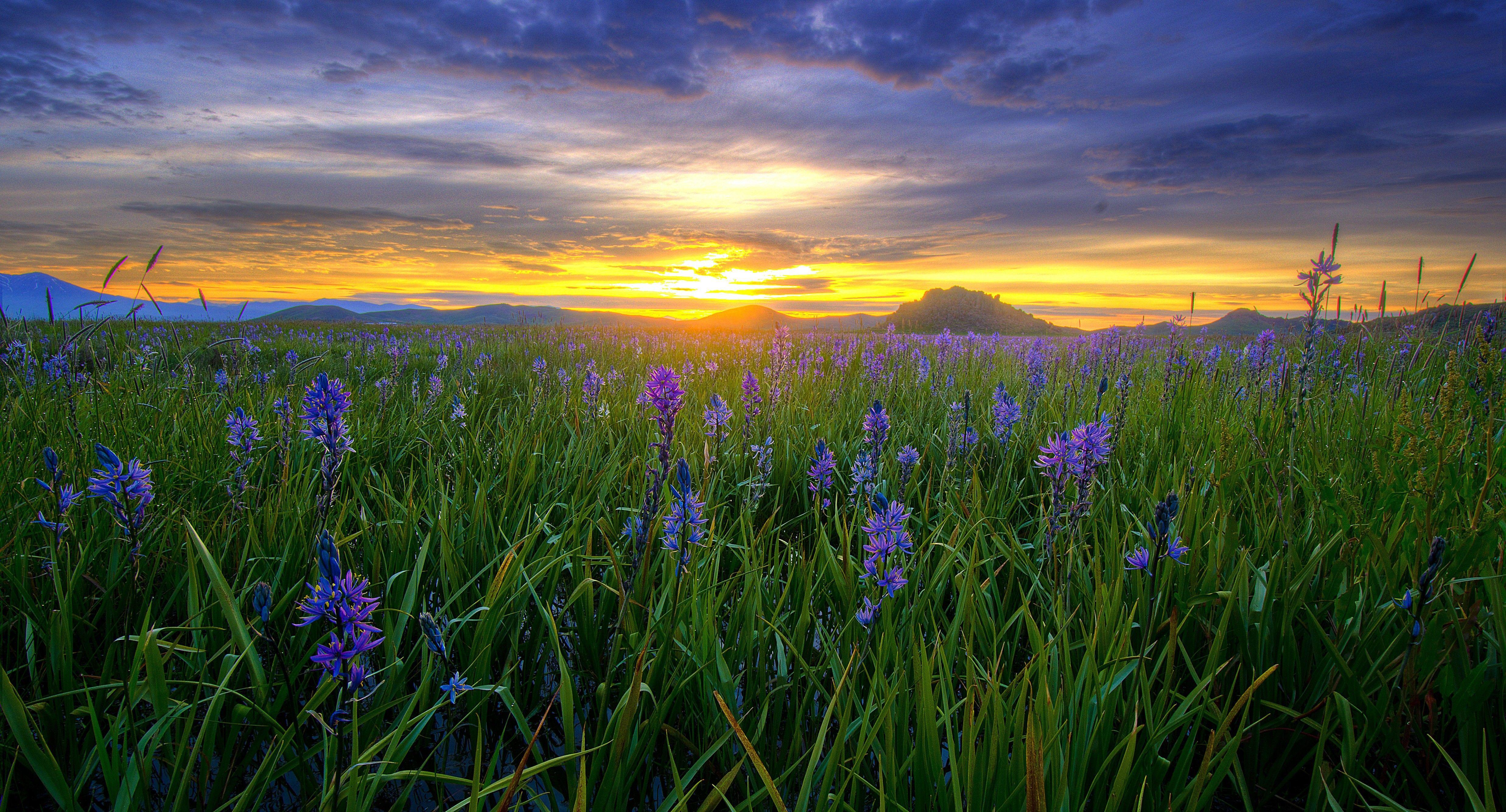 Small purple flowers fill a field under a sunset.