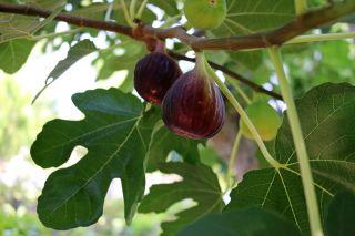 Figs Growing On Tree