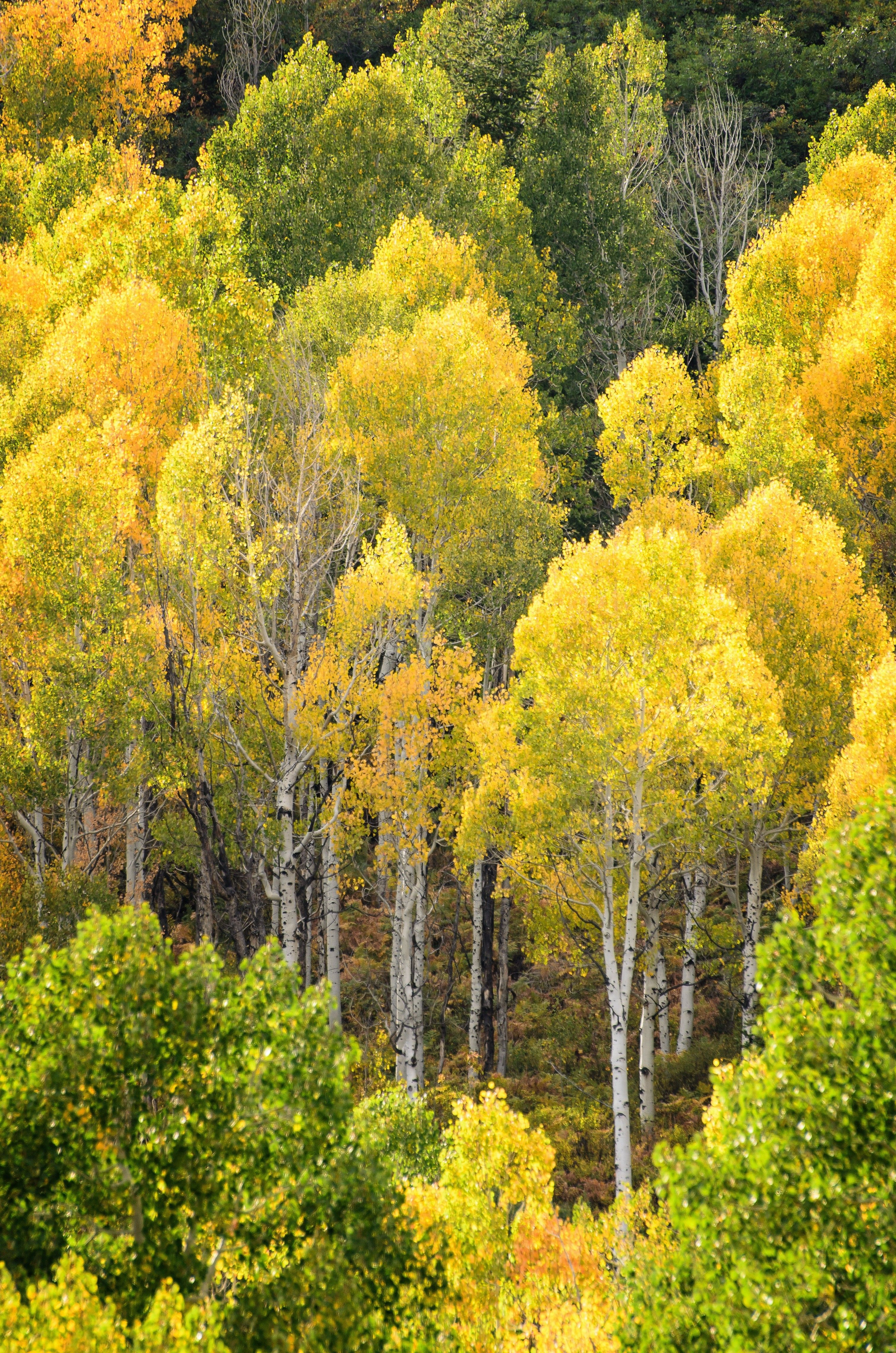 A grove of aspen trees with bright yellow leaves in the autumn.