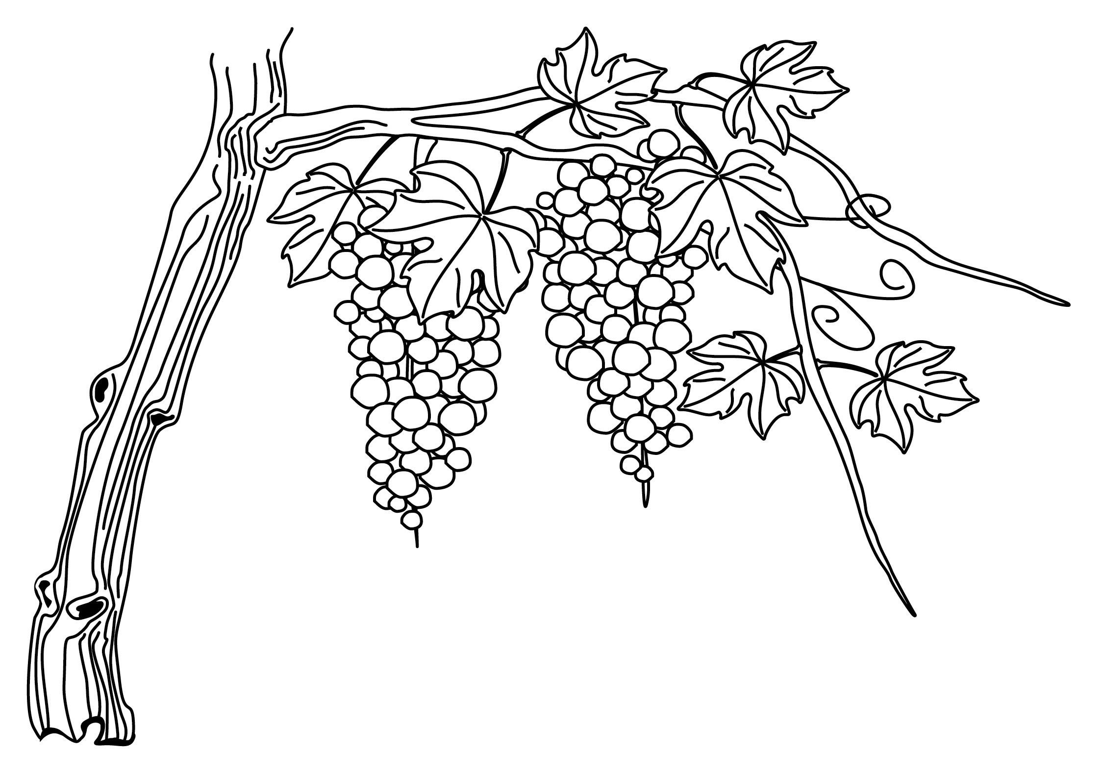 An illustration of a grapevine.