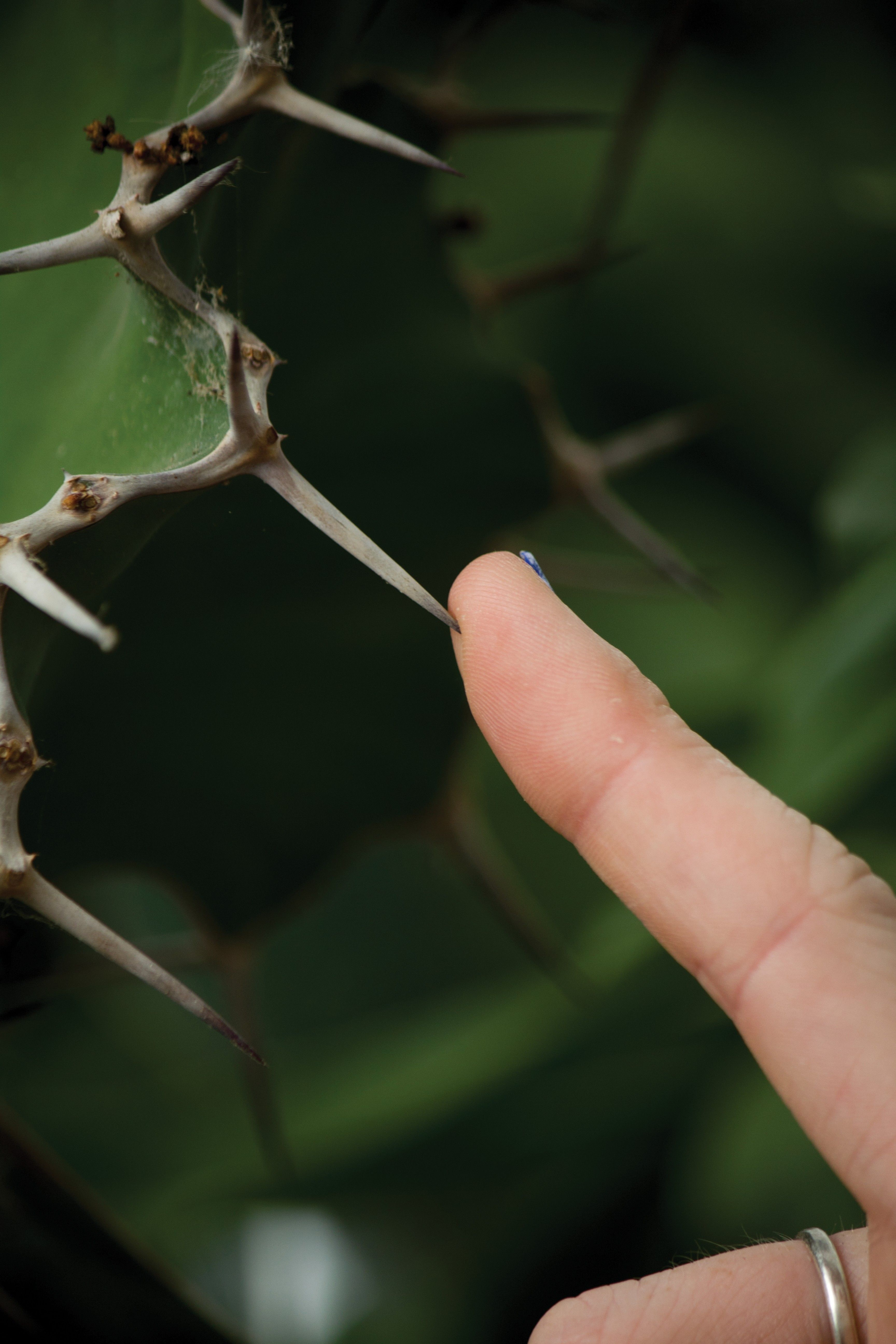 A finger touching a thorn on a plant.