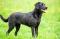 Zwarte labrador