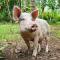 Samoa Pig
