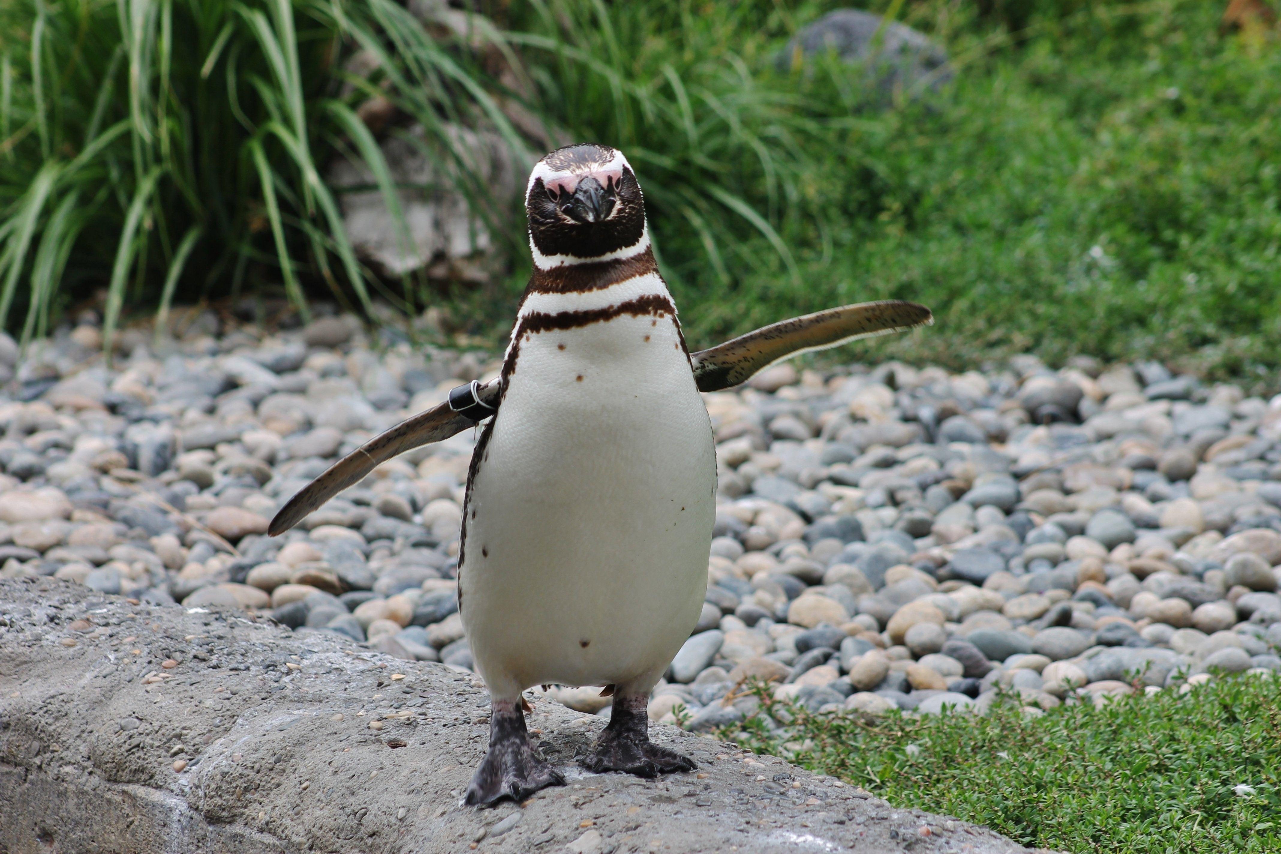 A portrait of a penguin.