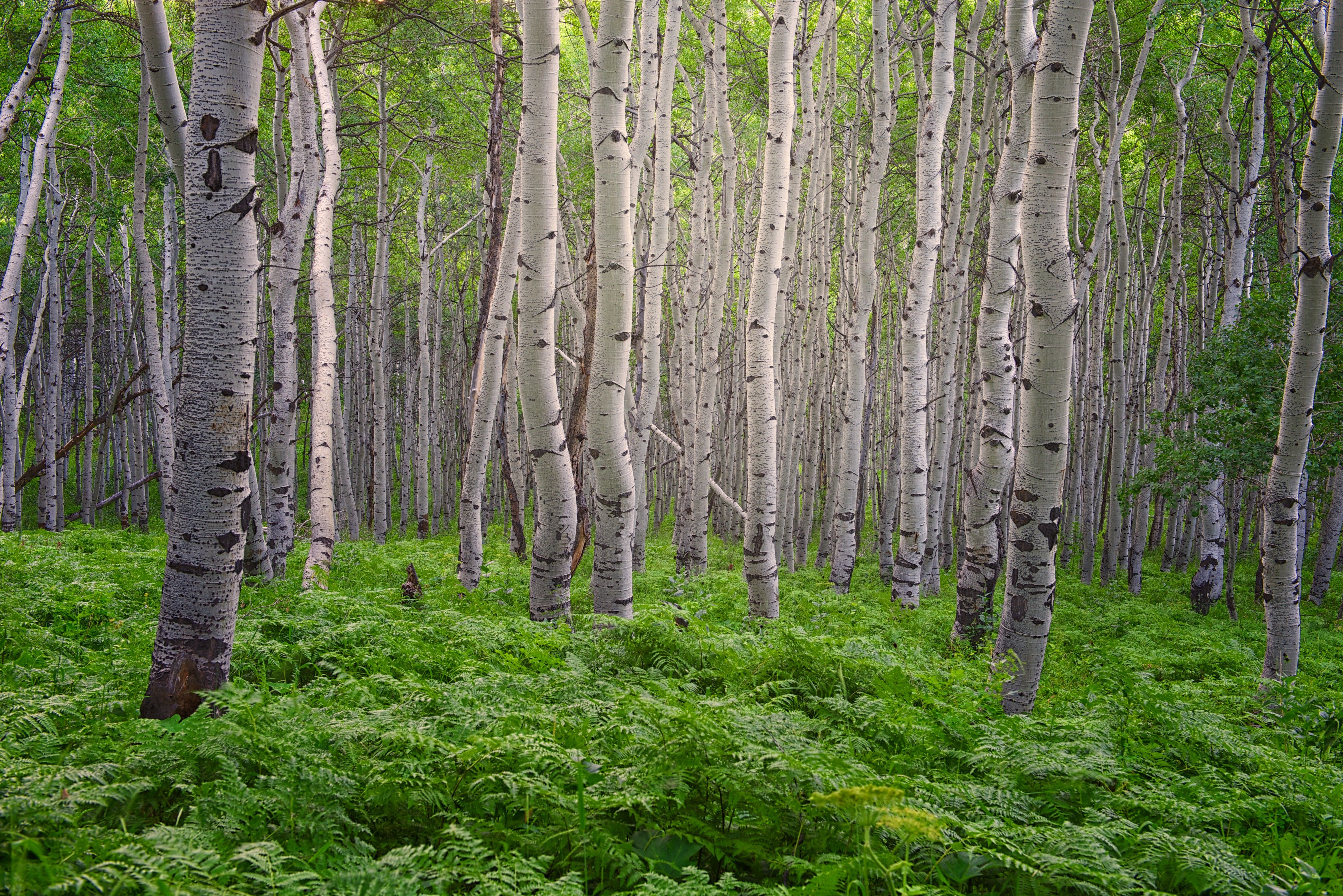 A grove of aspen trees in the summertime.