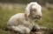 Of Lambs and Shepherds