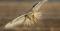 Bird- Hawk