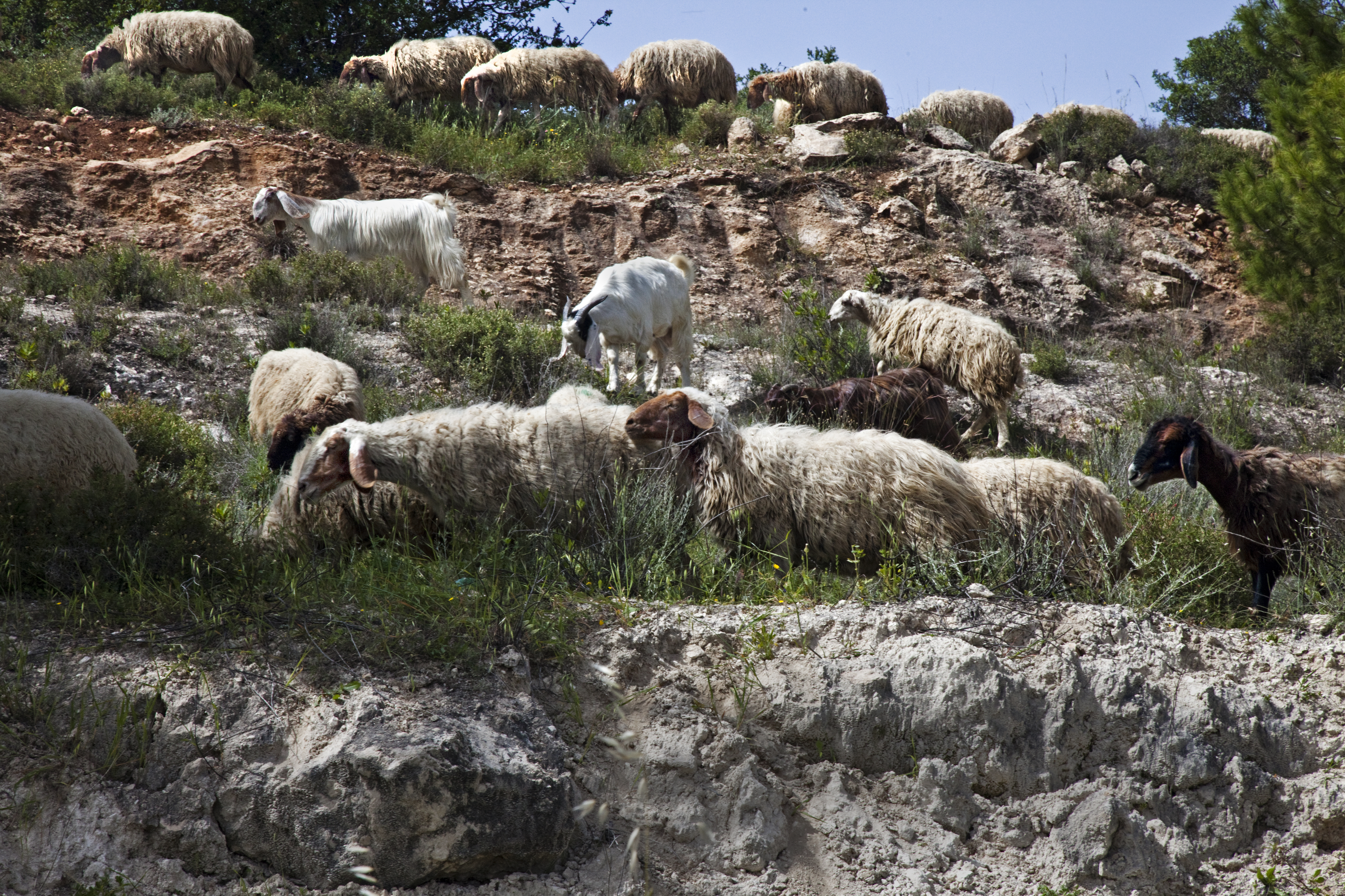 A photograph of sheep and goats.
