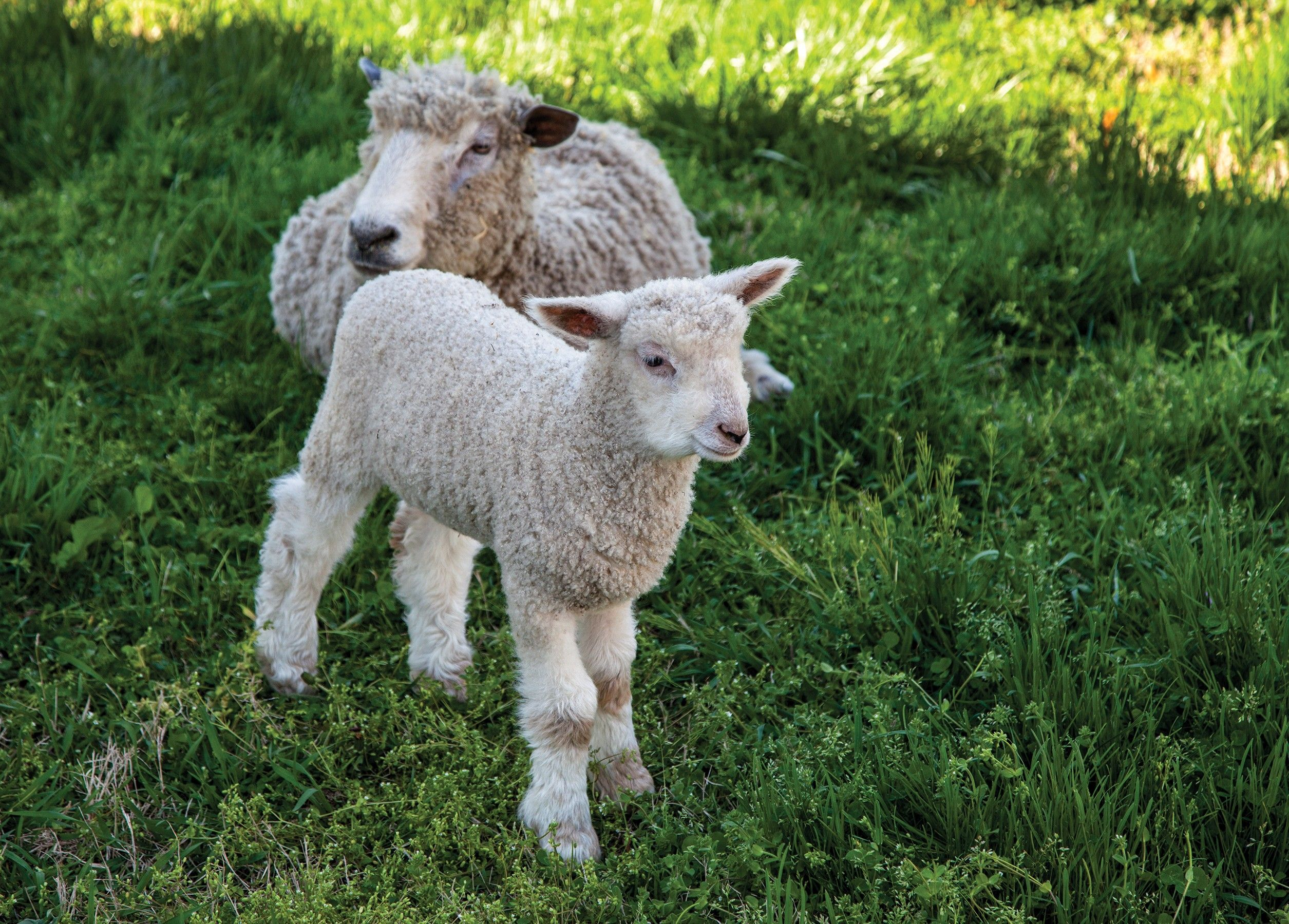 A small lamb standing next to its mother.