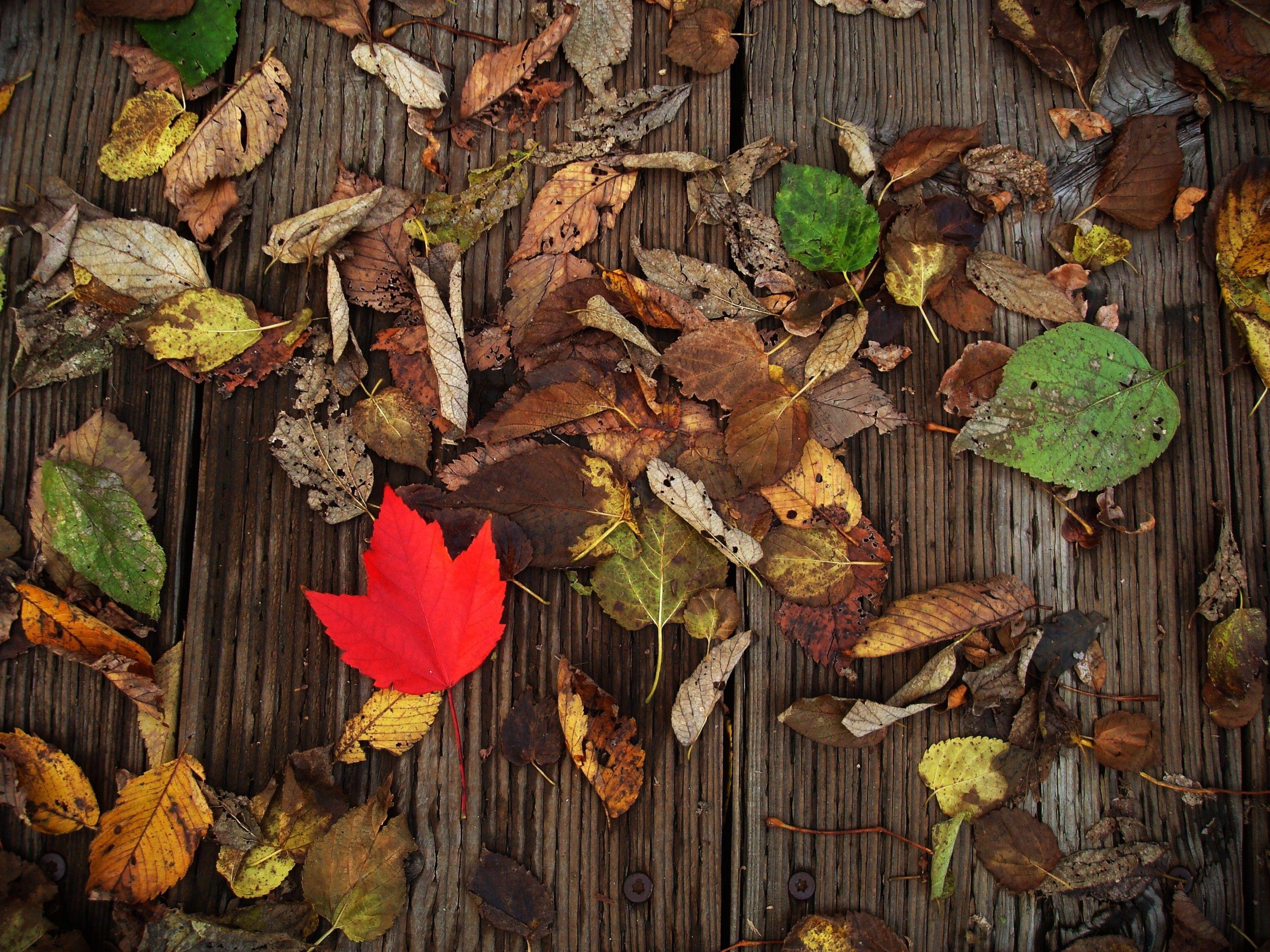 A red leaf lying among older fallen leaves on wooden boards.