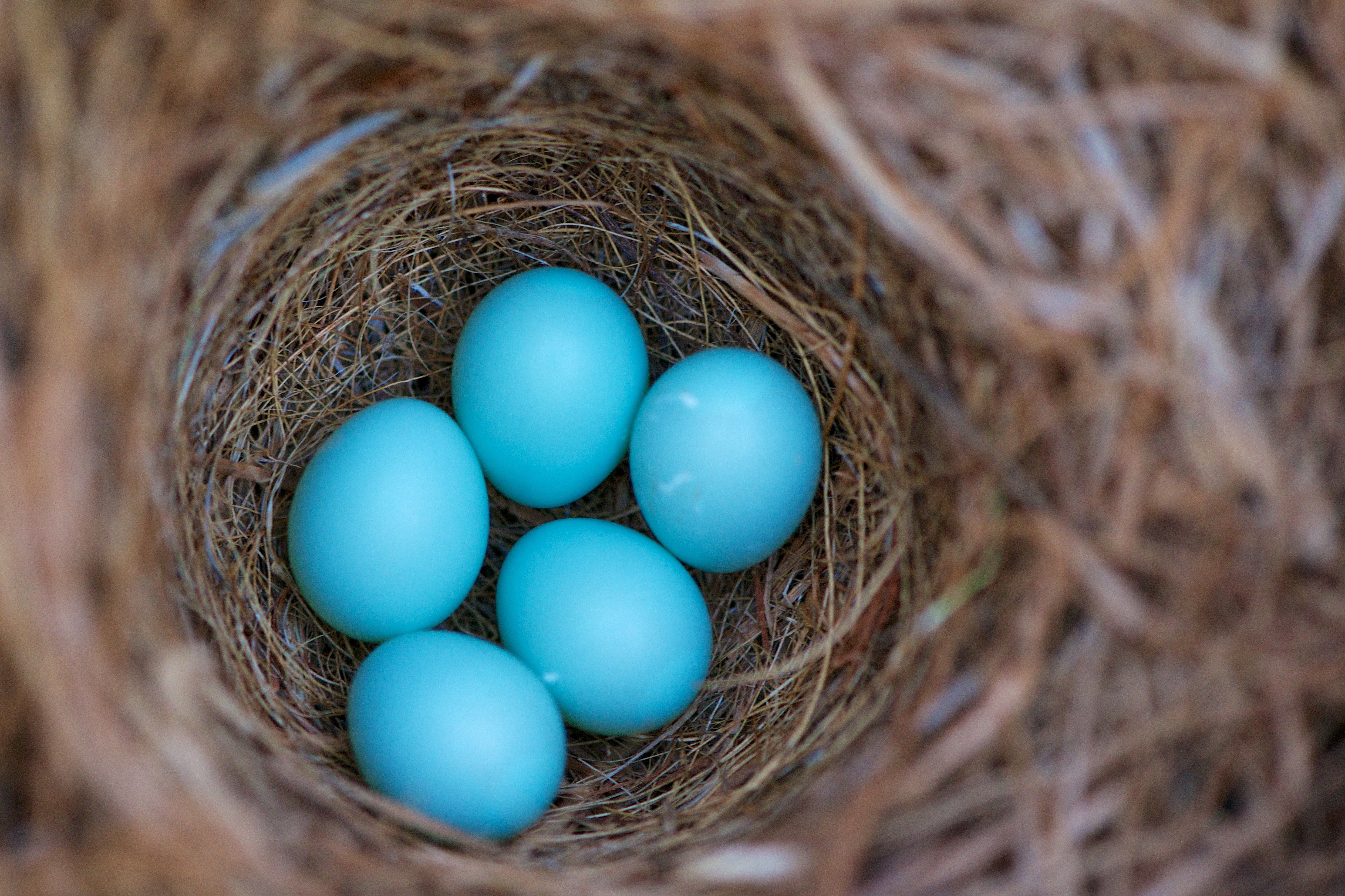 A bird's nest with five blue eggs.