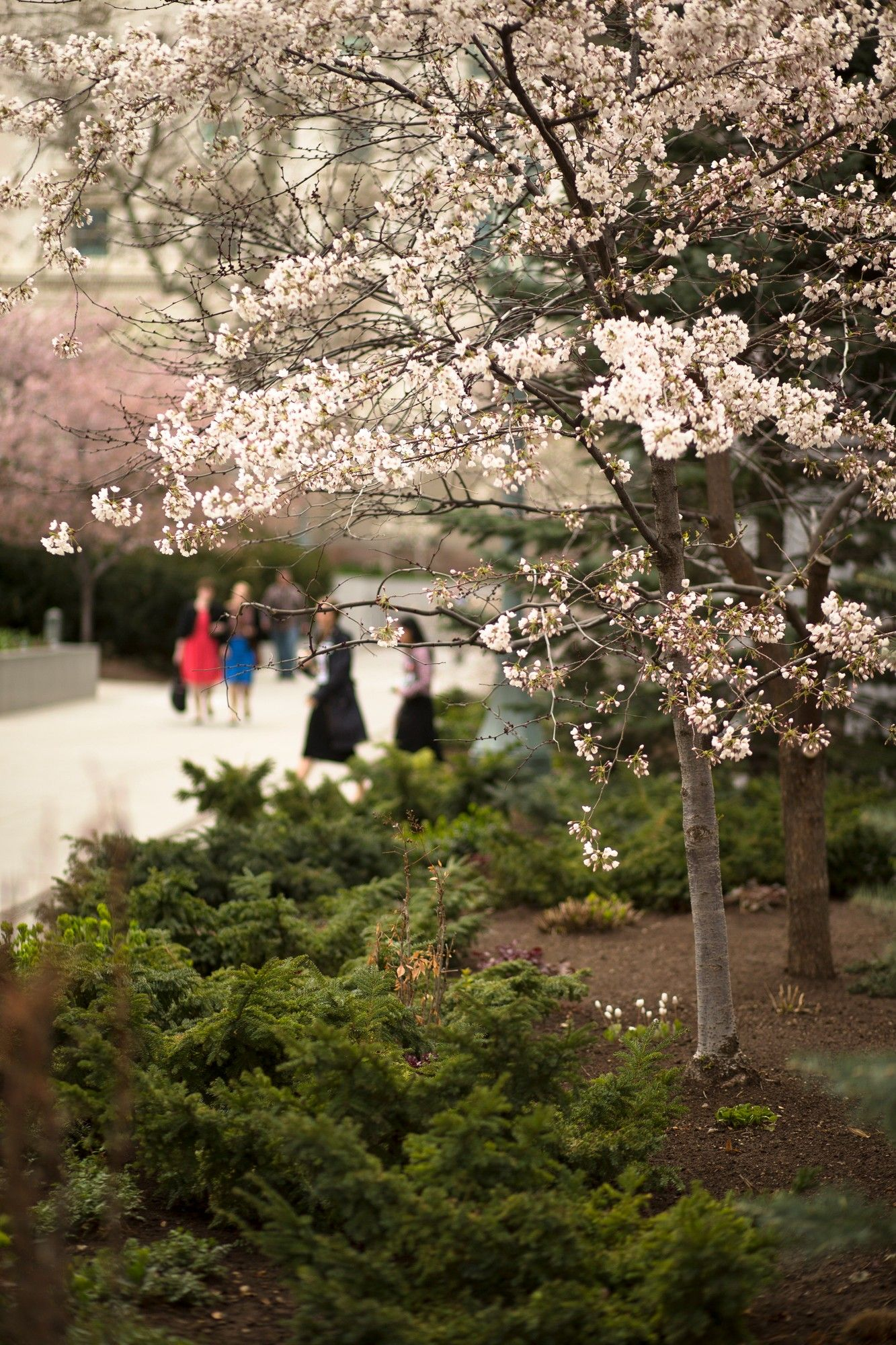 A tree with pink blossoms on Temple Square.