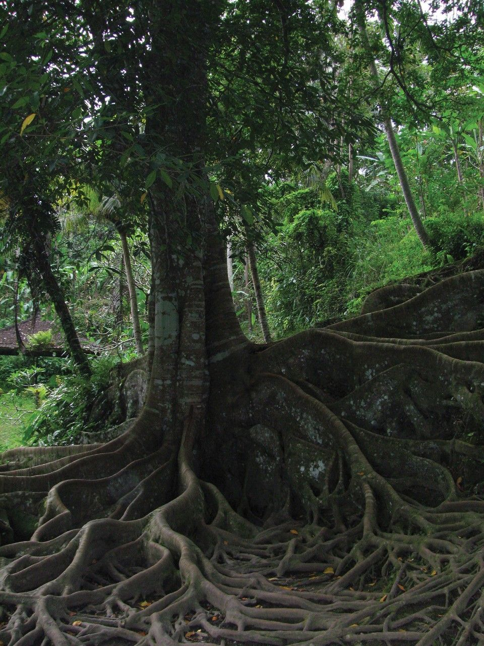 A picture of a tree in Bali, Indonesia.