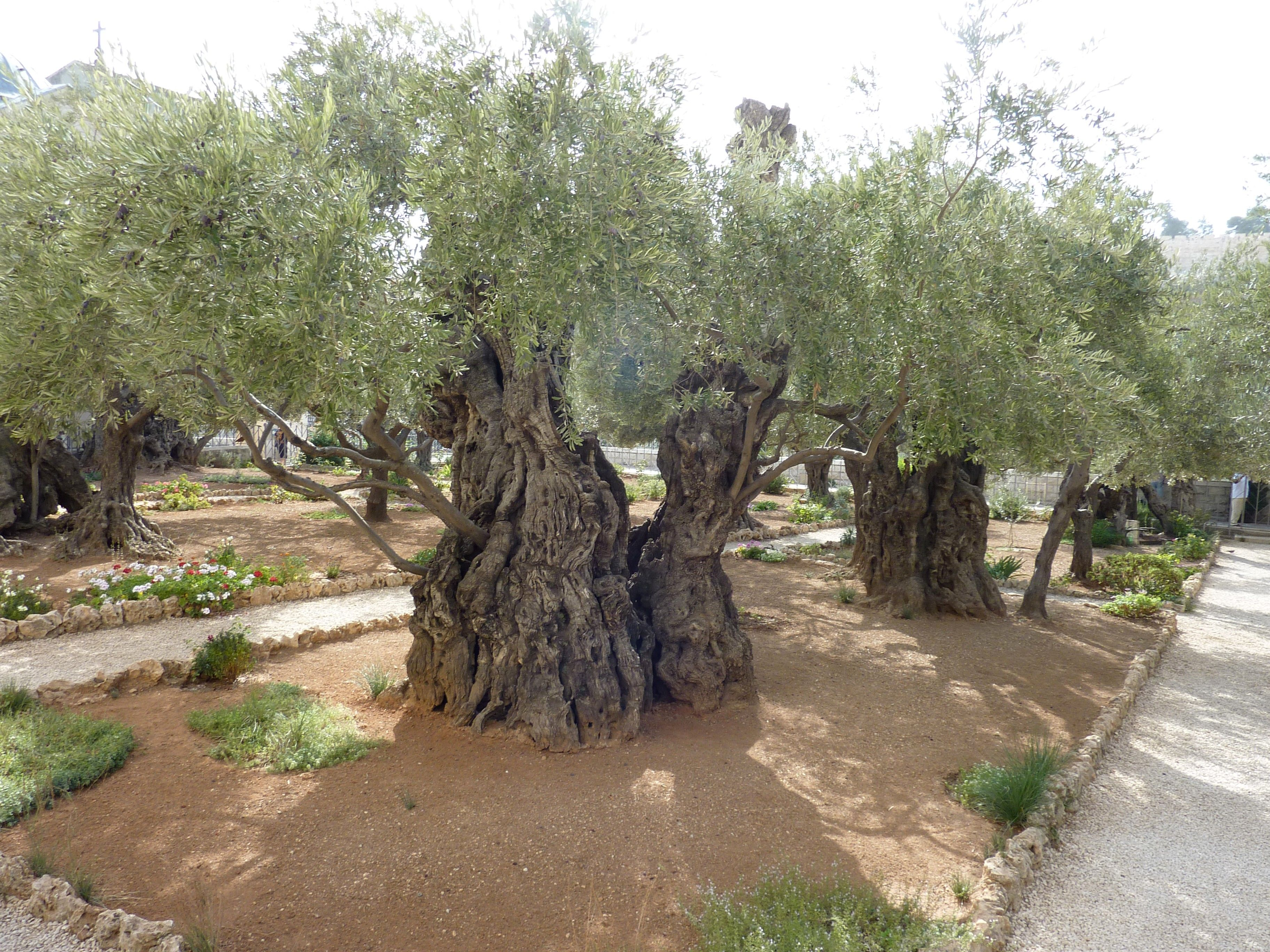 Olive trees at the Garden of Gethsemane.