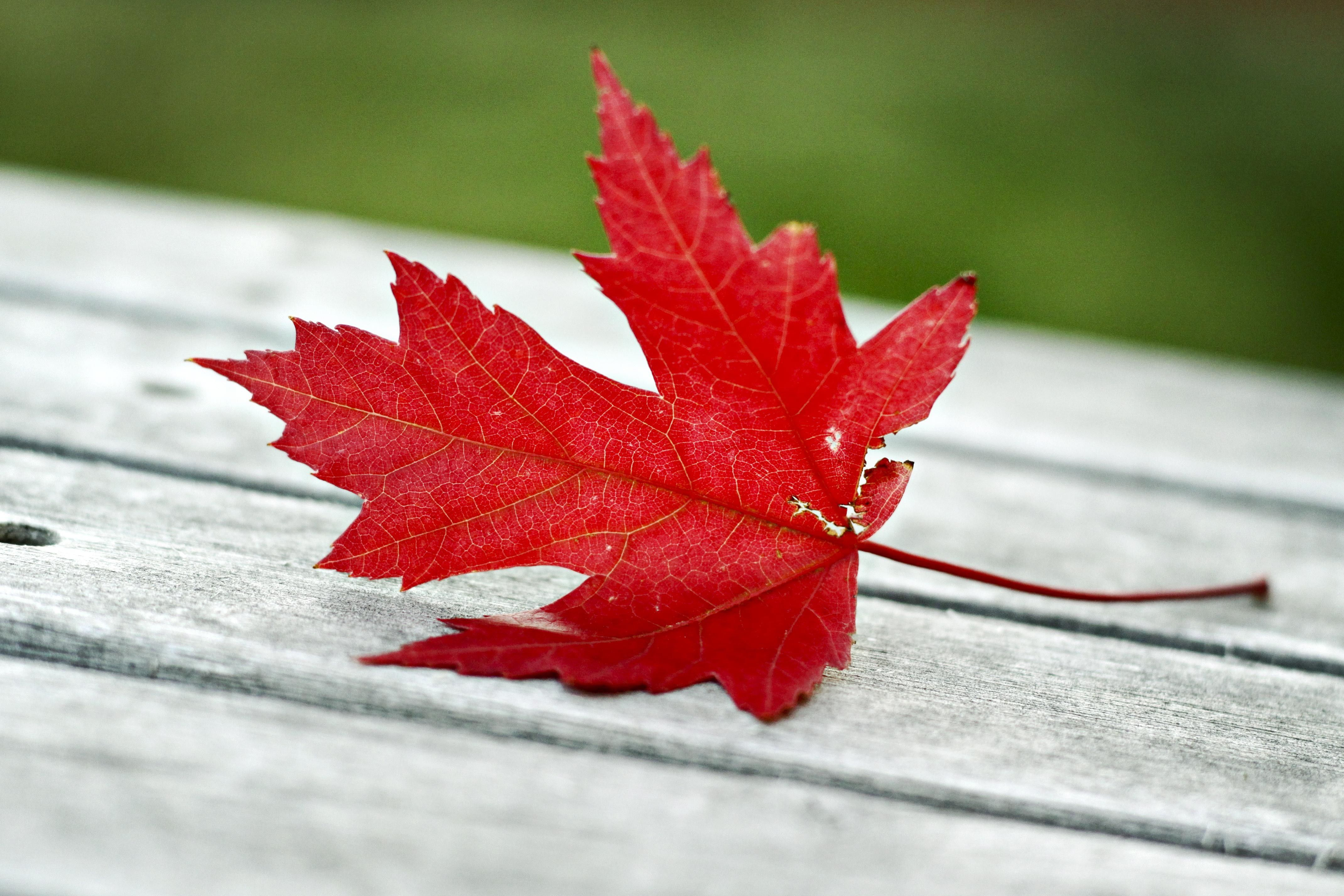 A red leaf that has fallen on a wooden deck.