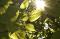 Sun shining through tree leaves.