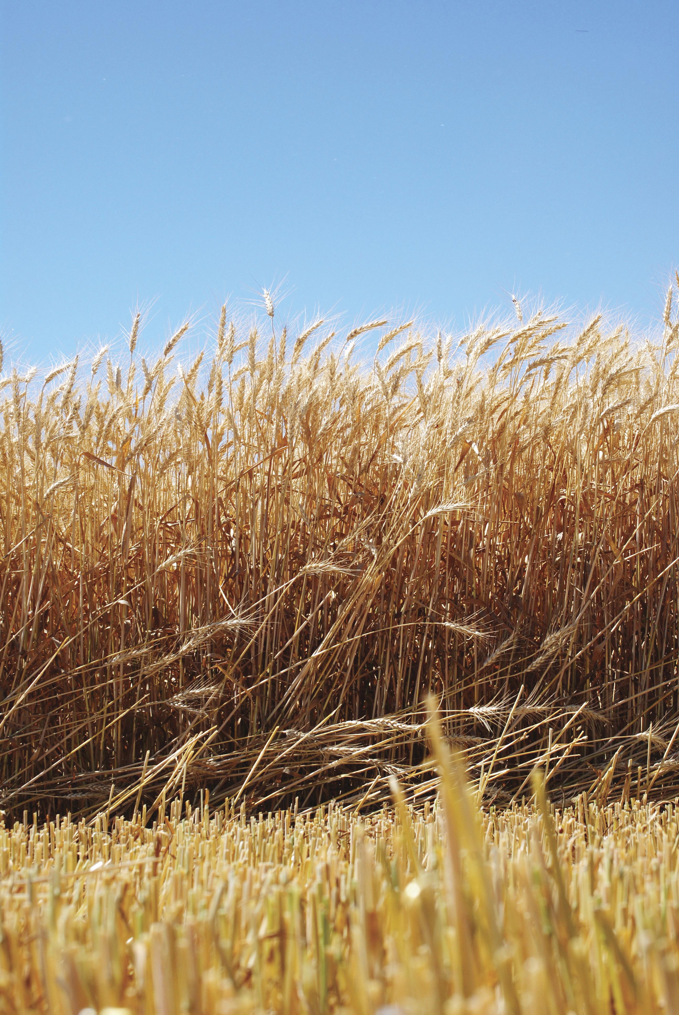 A field of golden grain.