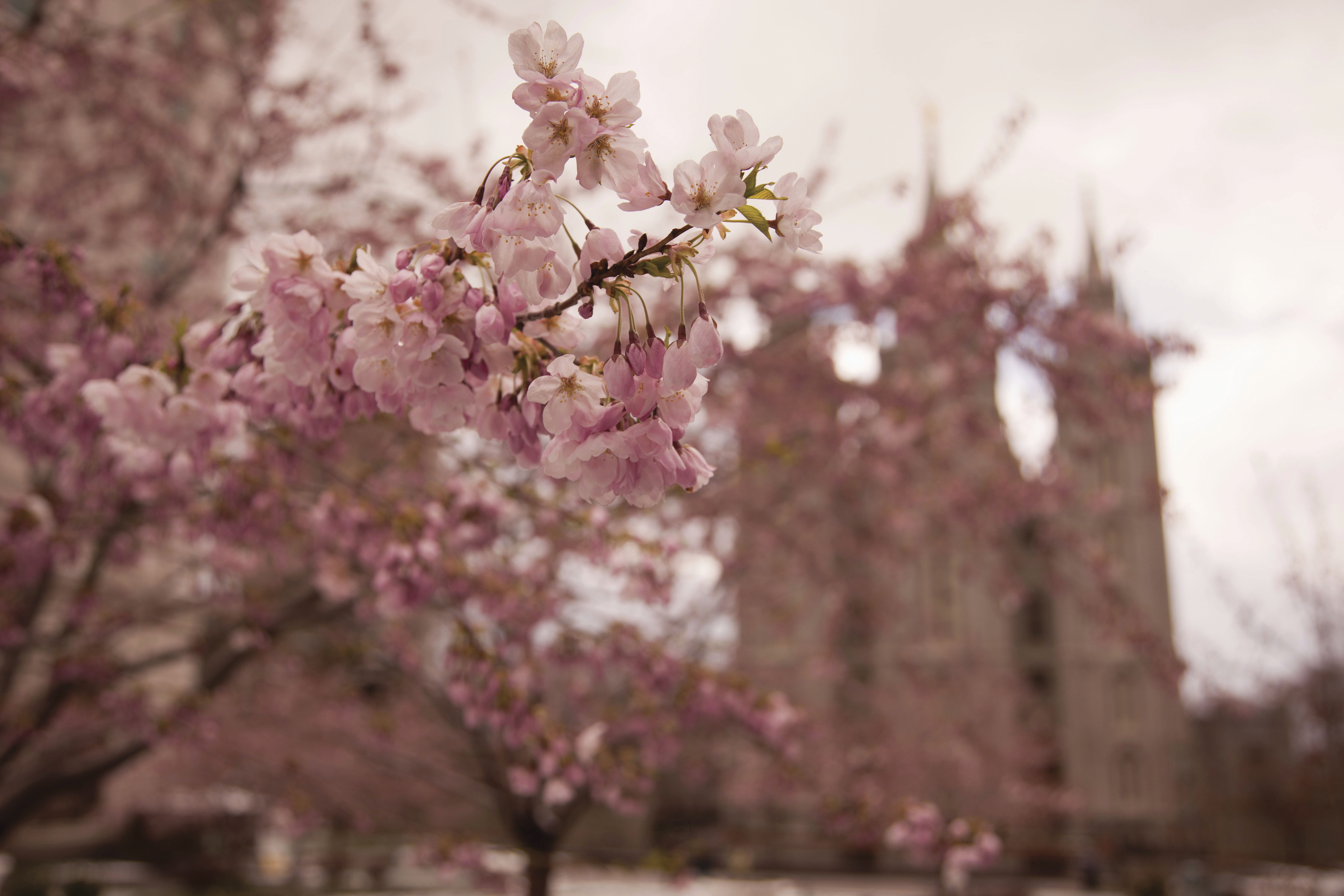 Tree blossoms during spring in front of the blurred Salt Lake Temple.