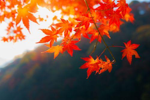 Japan: Japanese Maple Leaves