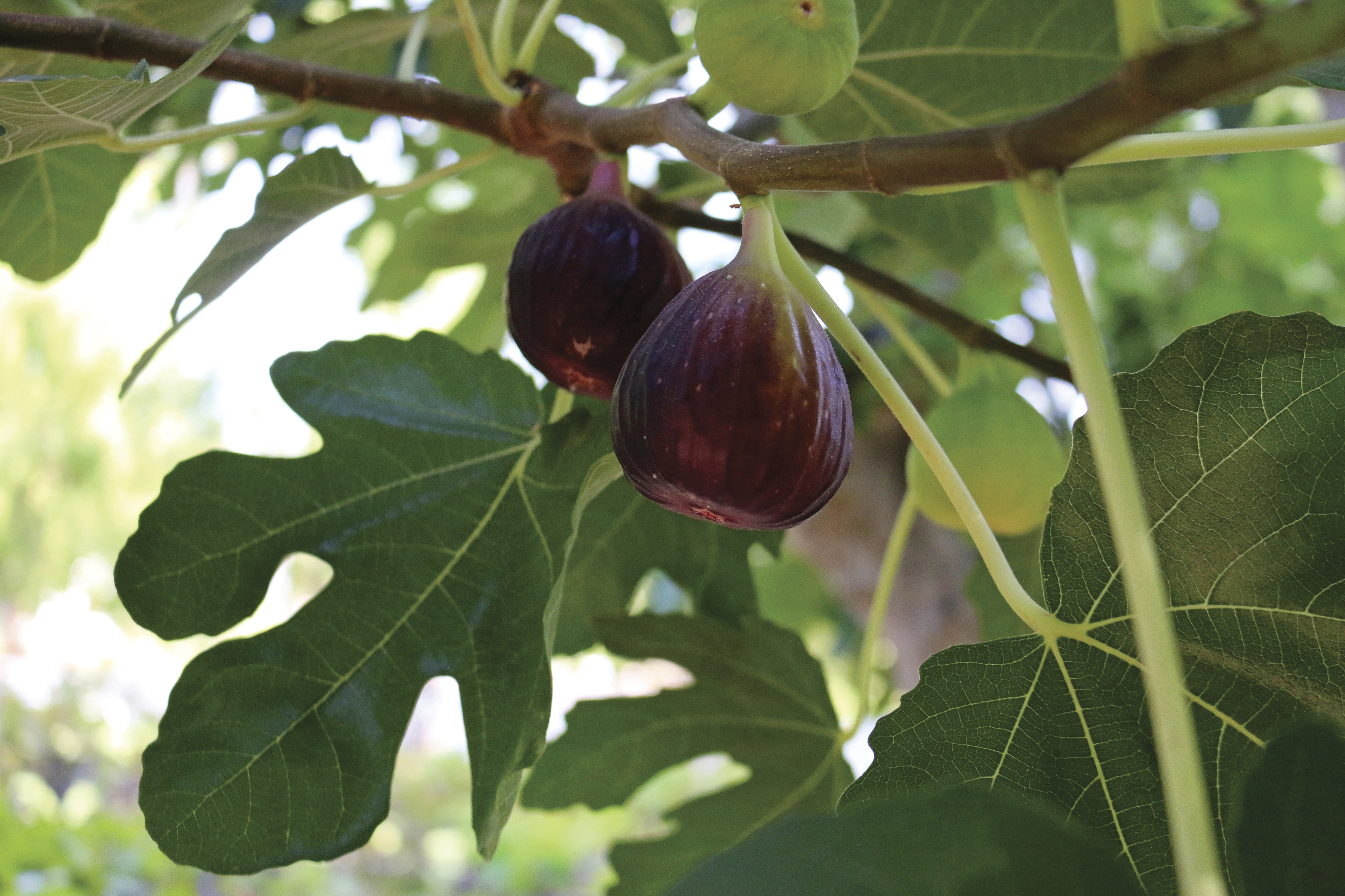 Two figs growing on a branch.