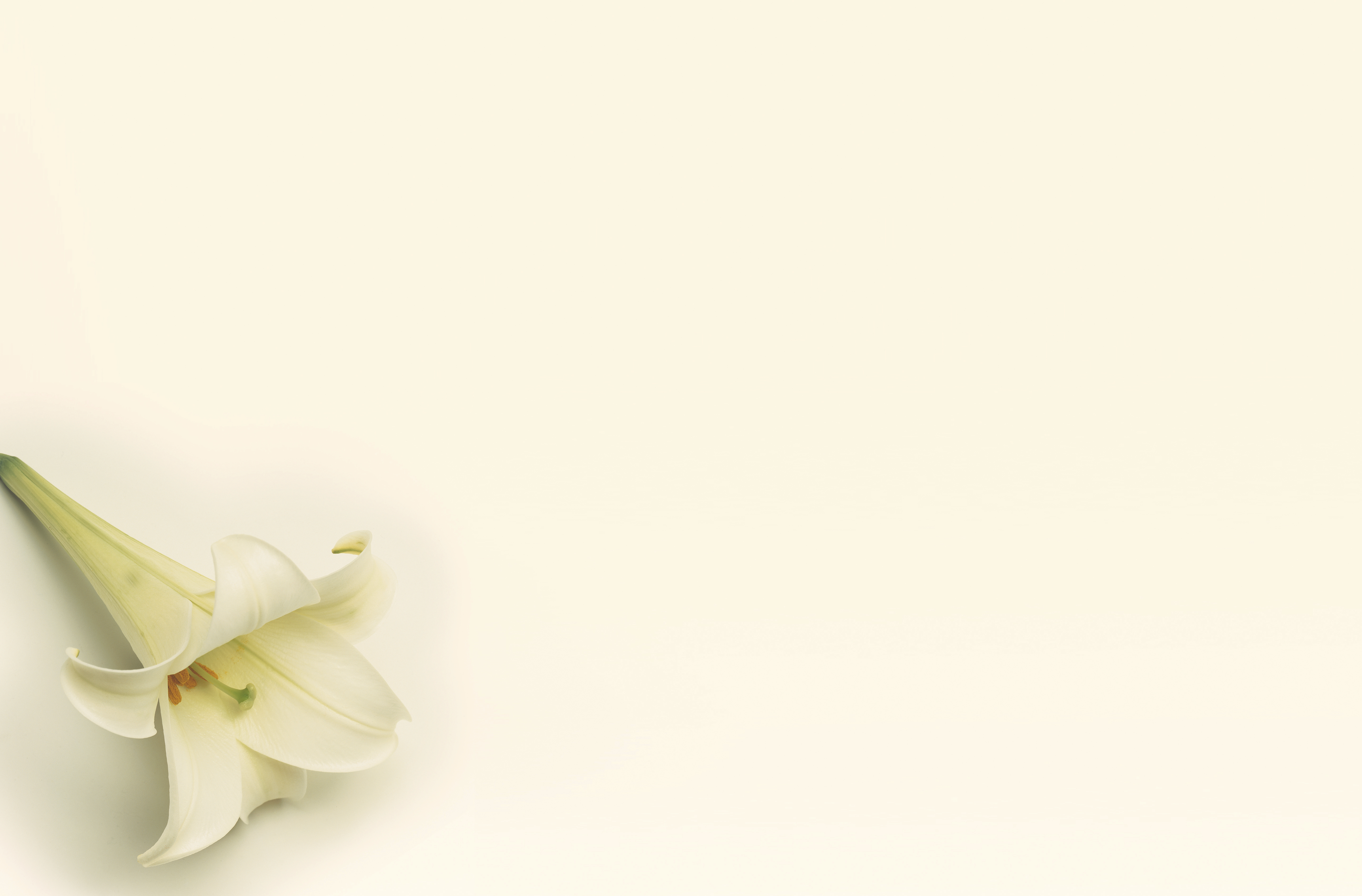 A white lily on a plain background.