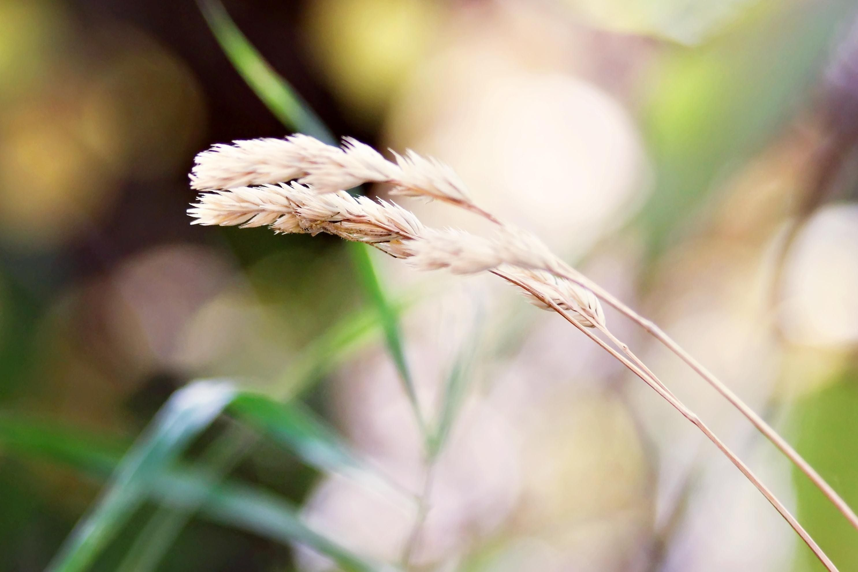 A few grass stalks with seeds at the end.
