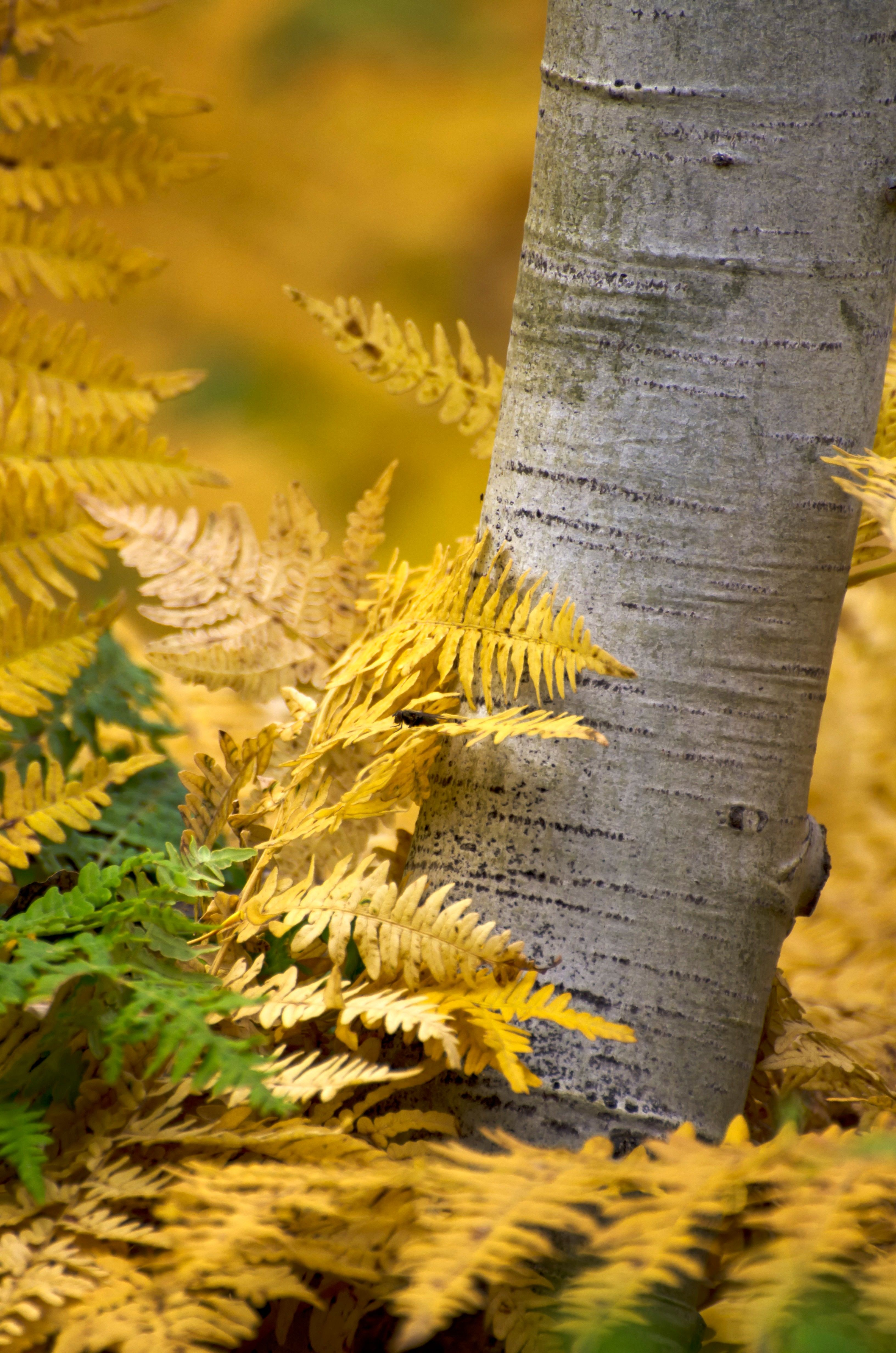 Bright yellow fern leaves around the trunk of an aspen tree.